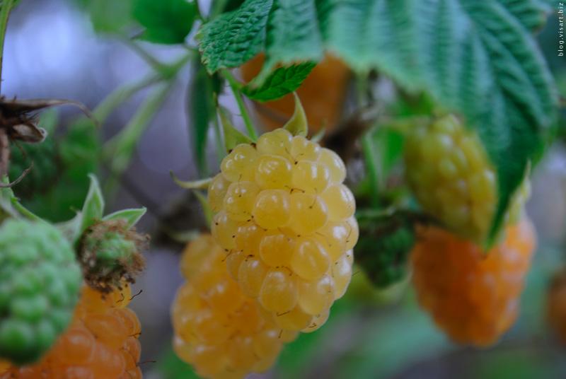 ГМО заманиловка