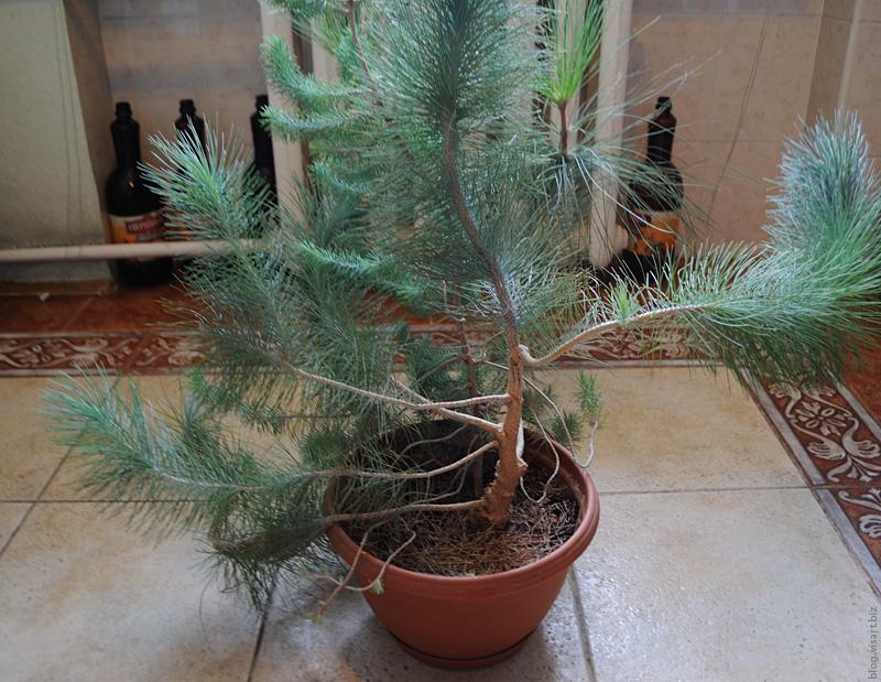 О выращивании хвойных в домашних условиях