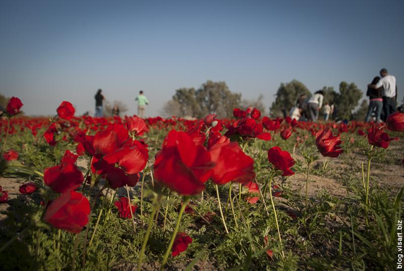 Пора анемонов в Негеве